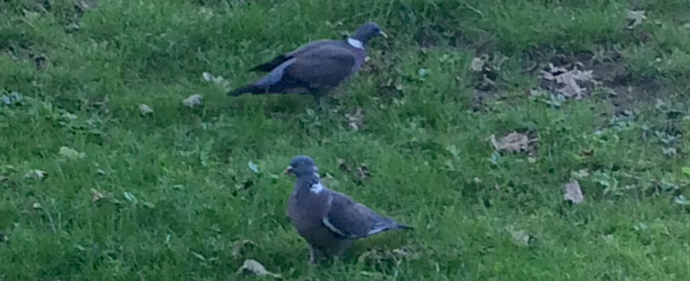 Wood Pigeons in the grass, Frankfurt, Germany.