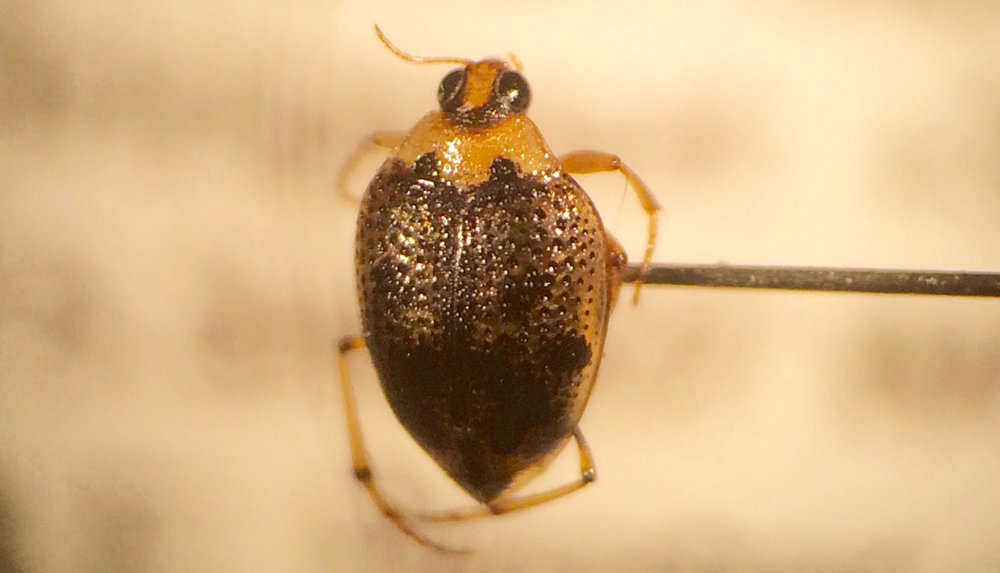 Close up of #10000 - Crawling Water Beetle, Peltodytes edentulus, collected at Bridgeport Township, Gloucester Co., NJ on 16 August 2016.