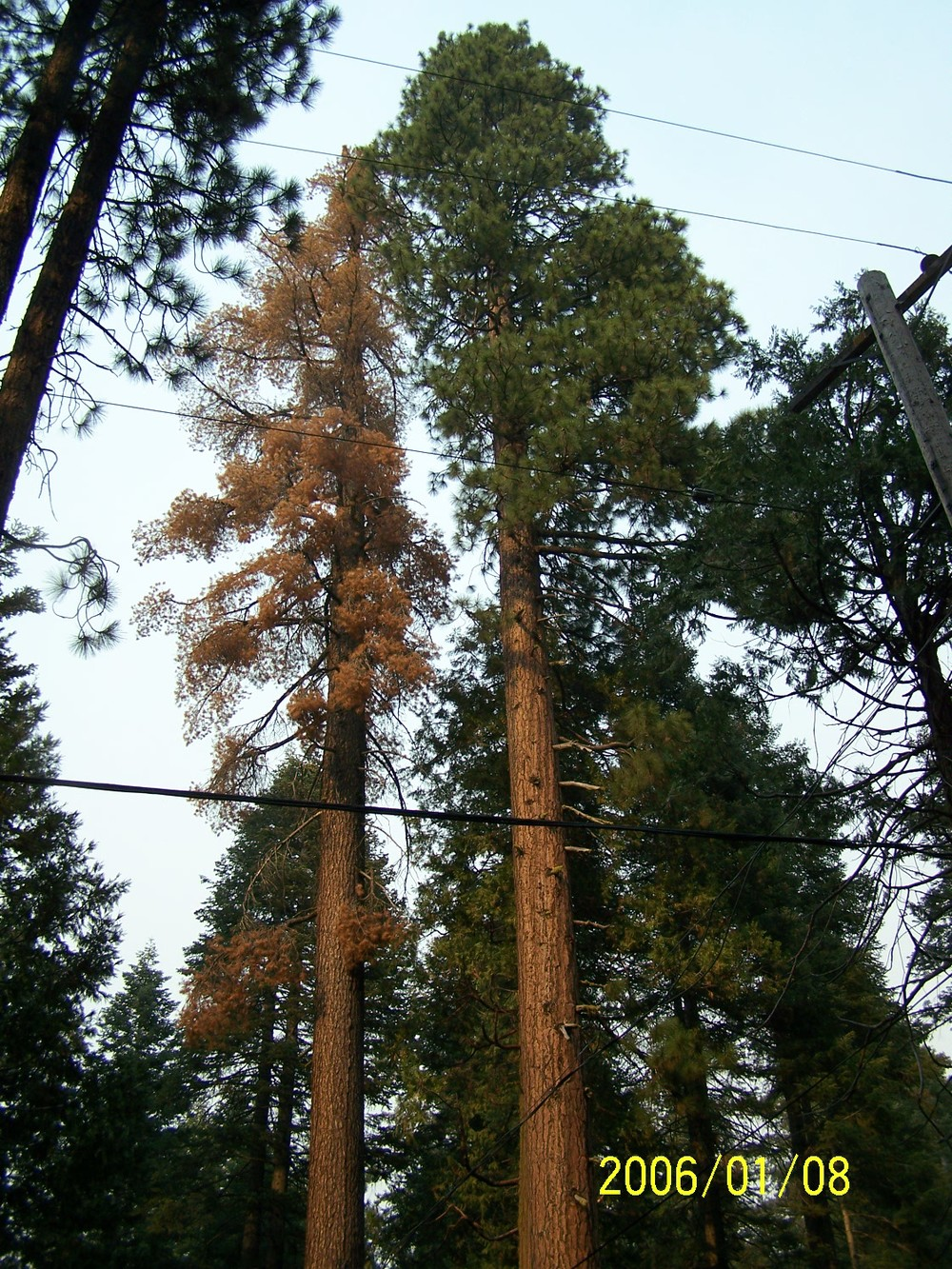 Sugar Pine (on the left) used for the Gig Nana replica