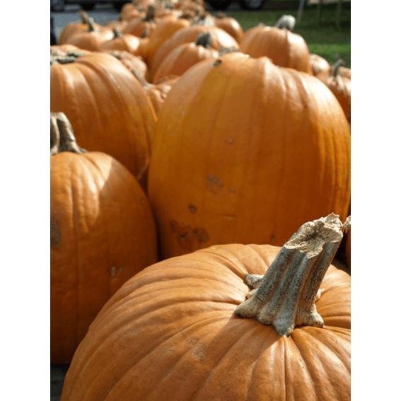 cchorus_HalloweenPumpkinsROW copy.png