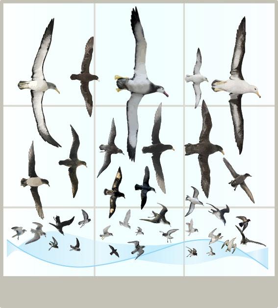 CChorus_NHM_MassDisplaysAPP_Seabirds.jpg