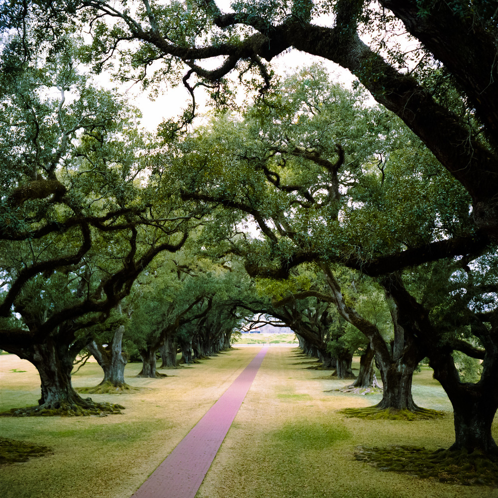 Another pretty view of the Oak trees from the Plantation house.