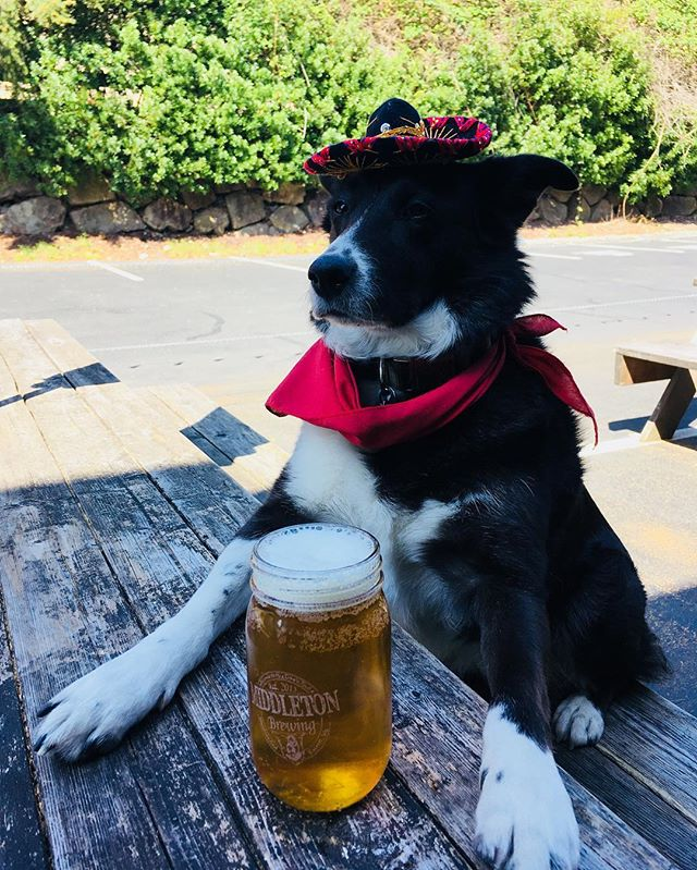 Kona is ready for the Cinco de Mayo pub crawl! Make sure you grab a punch card and visit @cruciblebrewing and @lazyboybrewing as well. #drinklocaleverett #thedifficultlifeofabrewerydog #middletonbrewing_wa #cincodemayo #whothefislarry