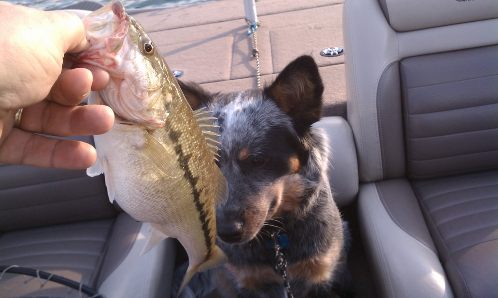 "Pip (a  blue heeler ) checks out ""her"" first fish!"