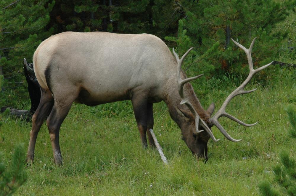 Elk in Crested Butte
