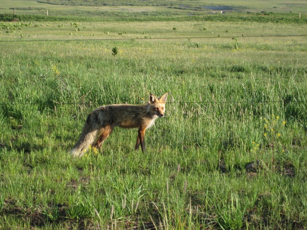 Crested Butte Fox.jpg