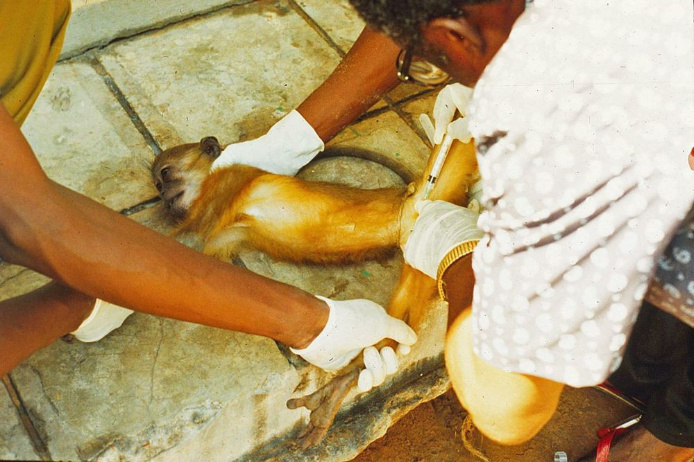 Scientists gathered local monkeys and drew blood samples in search of the virus.