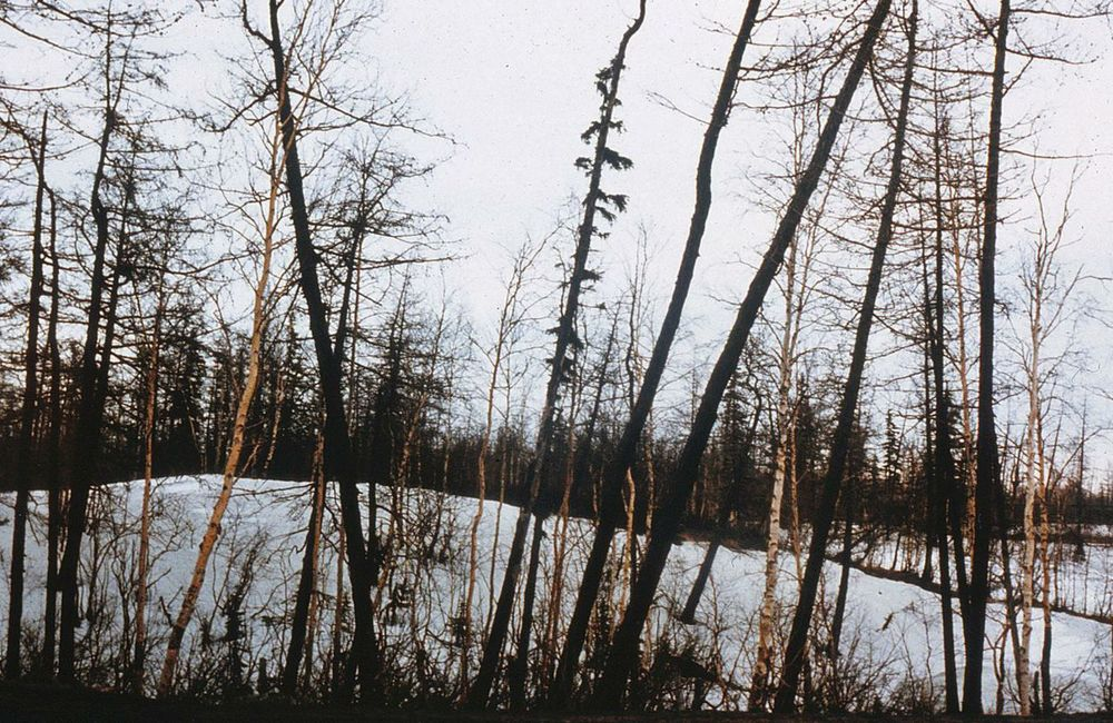 Siberian forests are dying due to massive pollution.