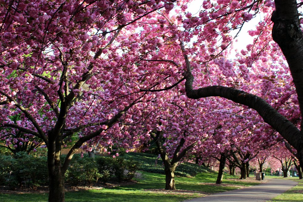 Brooklyn Cherry Blossoms