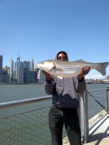 Striped Bass in the East River