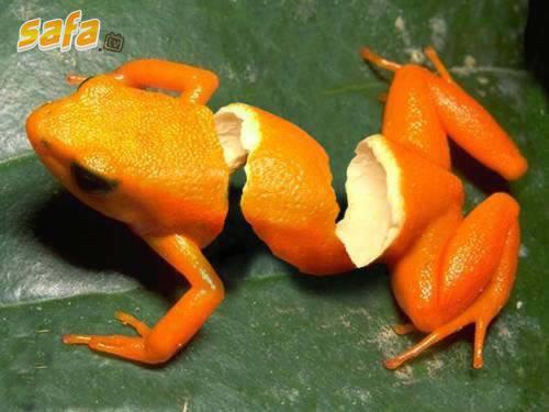 Photoshop Picture Funny Frog Citrus Fruit Orange Hybrid.jpg