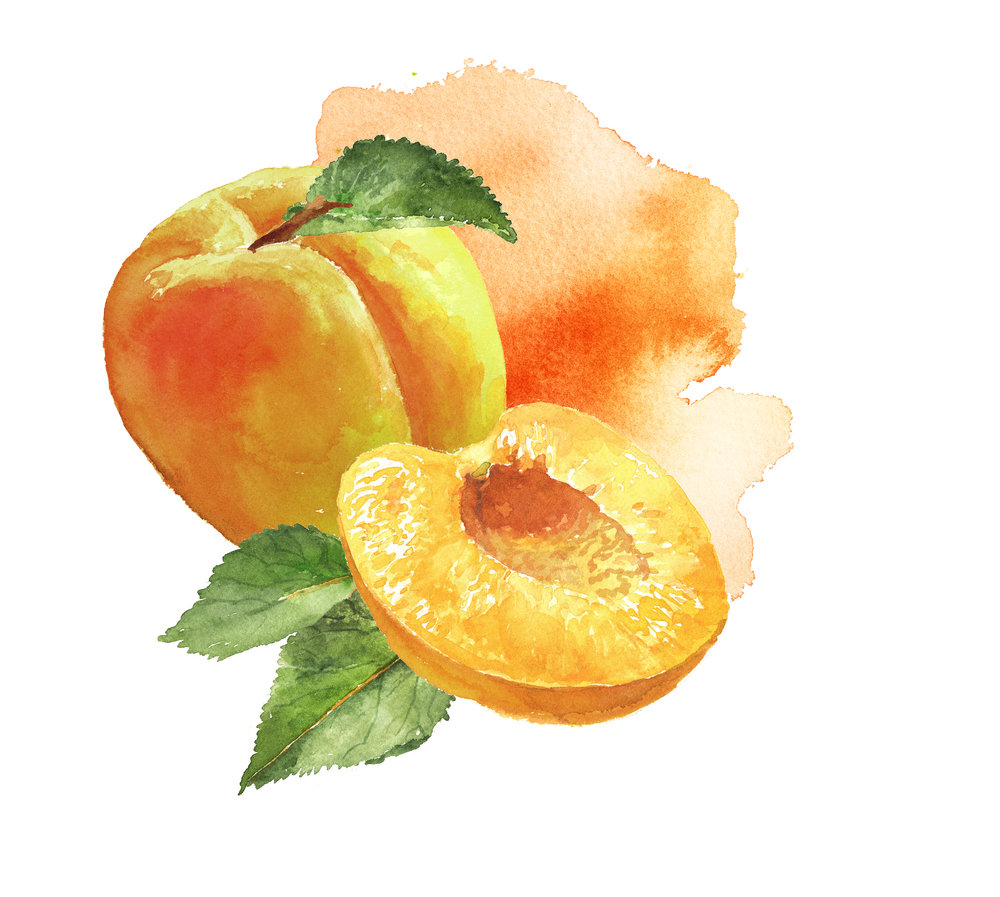 sterling apricot watercolor150.jpg