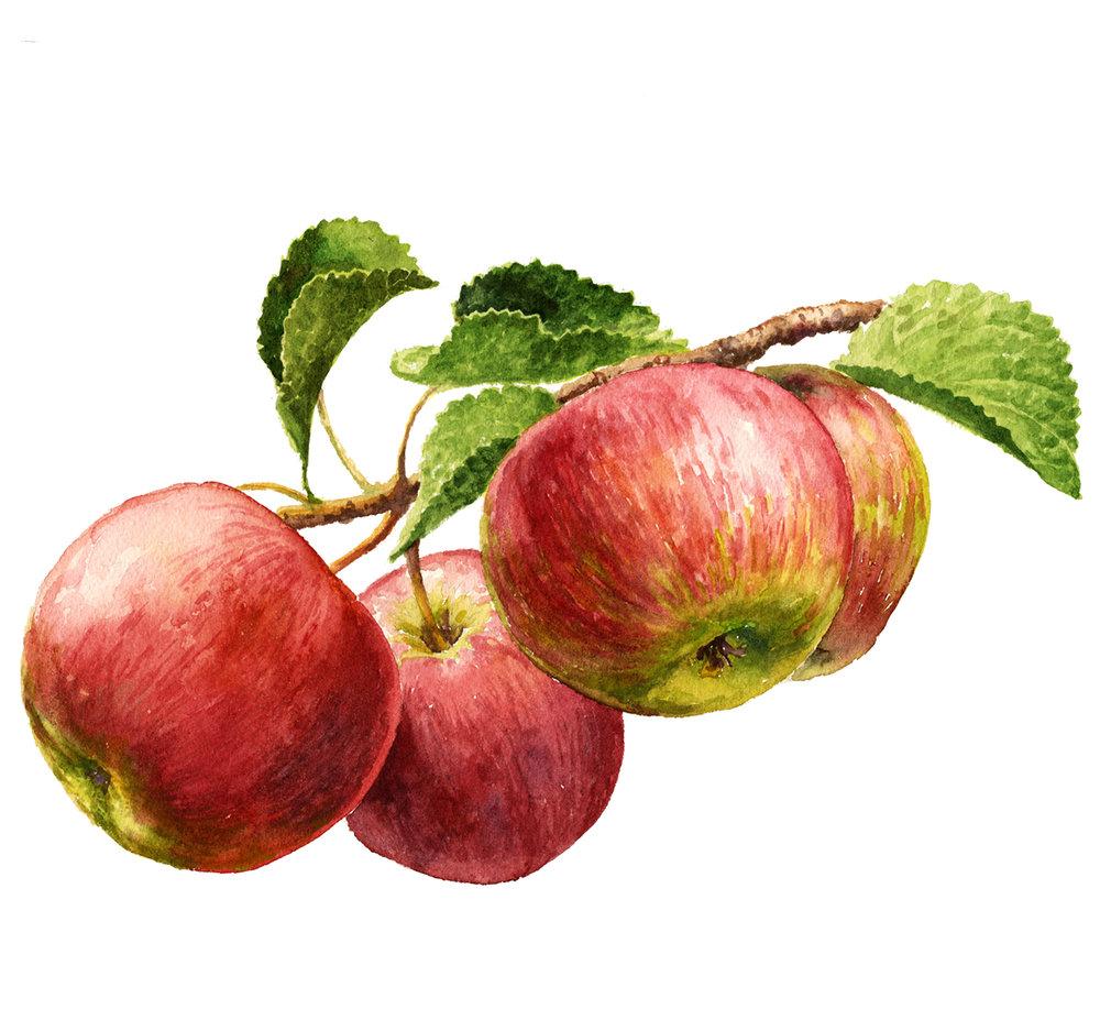apples150.jpg
