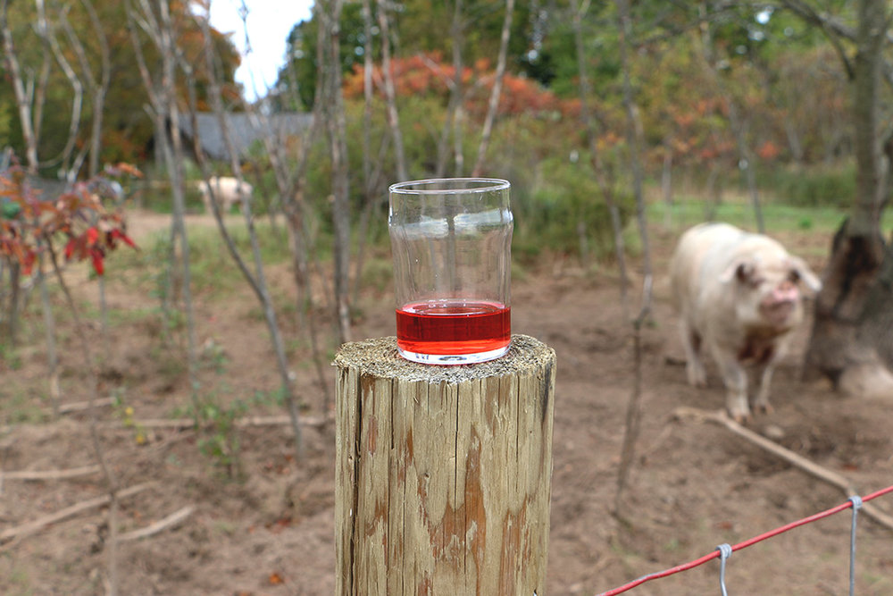 A glass of Mitten Cherry Cider sits atop the pen housing the farm's pigs–instrumental in grooming the grounds.