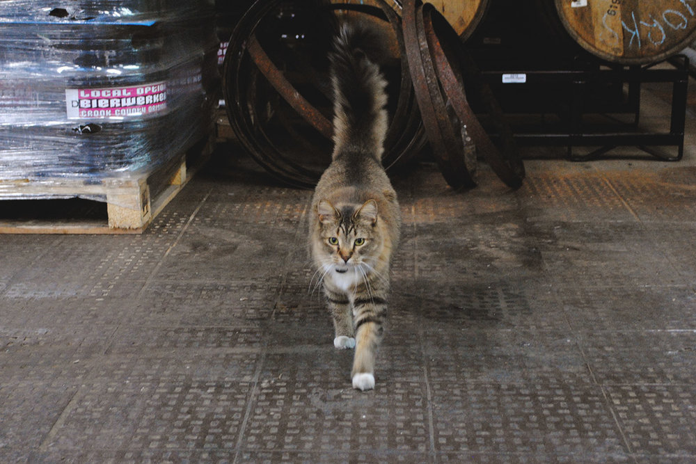 One of many brewery felines, Kwingston patrols the grounds.