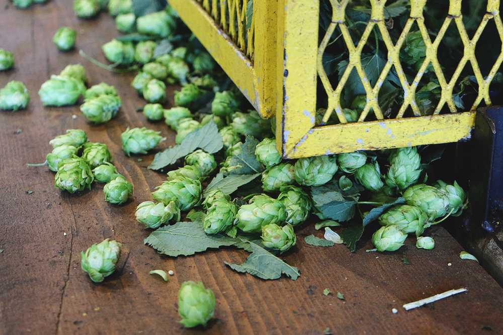 Spoils from this year's hop harvest at Elk Mountain Farms, in Bonners Ferry, ID. [Photo: Jack Muldowney]