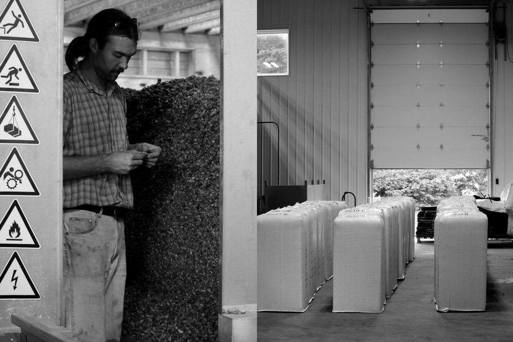 Gura examines dried Crystal hops, prior to bailing and shipping.