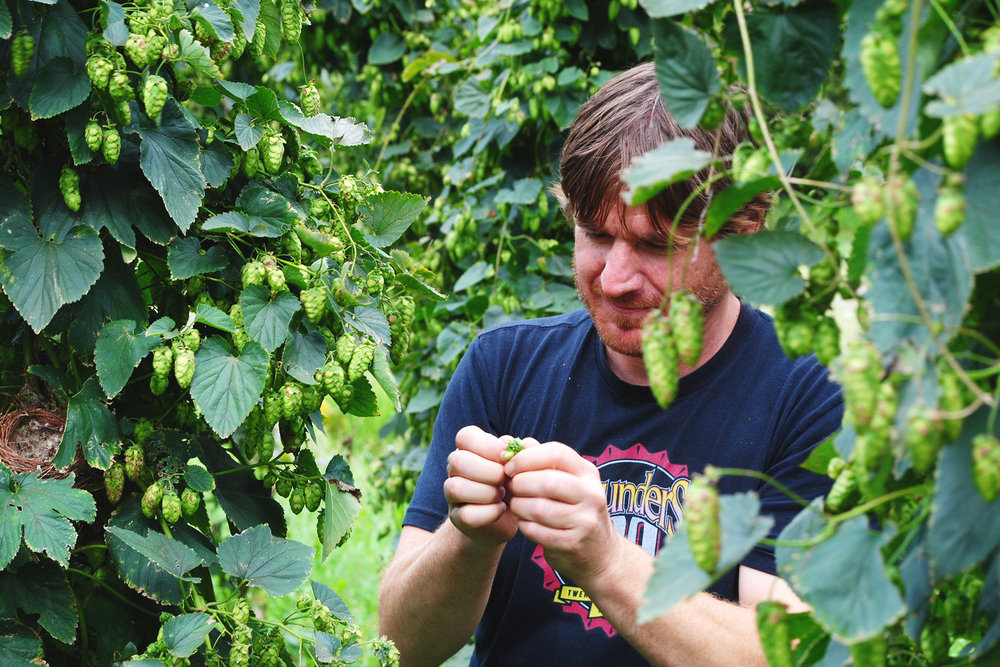 Founders' R&D Brewer, 'Diamond' Deschaine, examines some Mackinac hops off the bine.