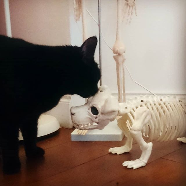 Kuro greeting the new dog.  #donteatplasticyoustupidcat #blackcatsofinstagram