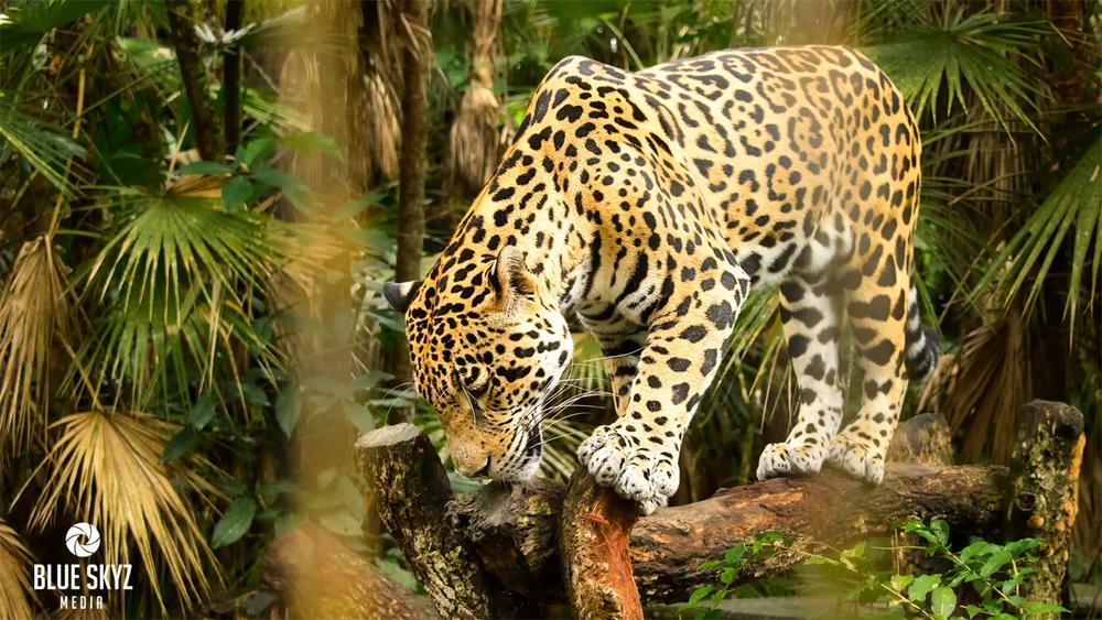 Jaguars in the Belize Zoo