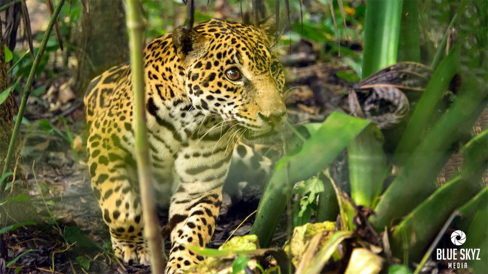 A Jaguar in Belize