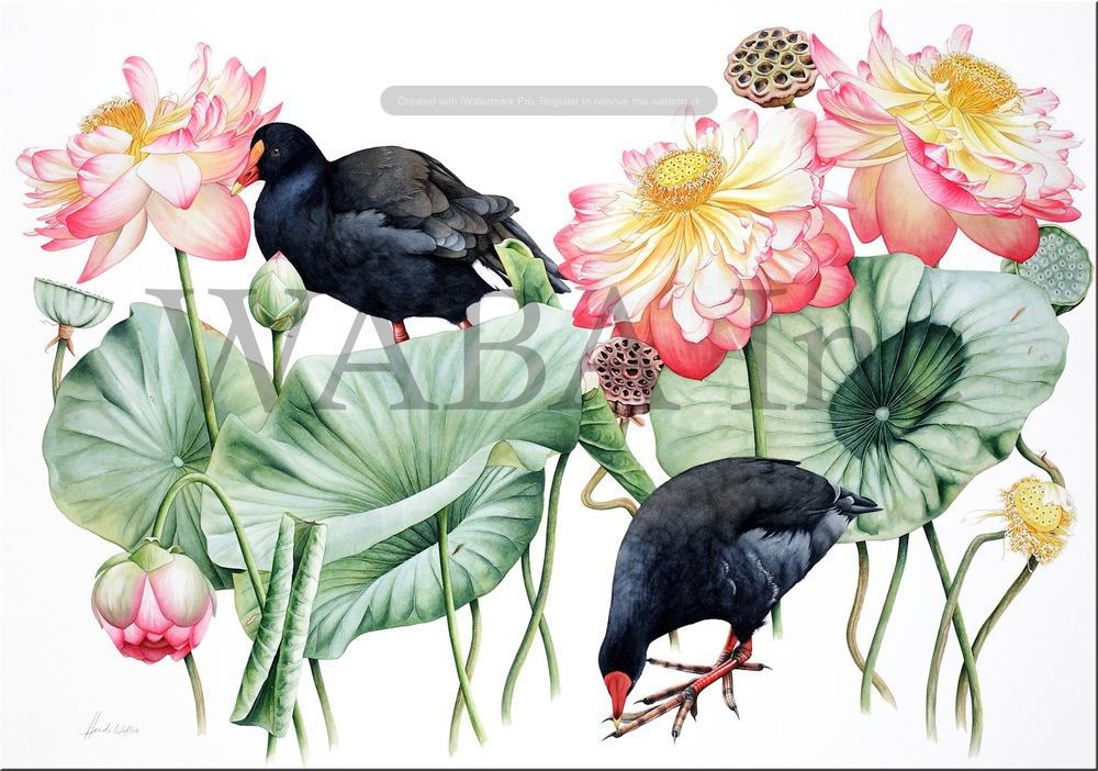 Lotus and Moorhens