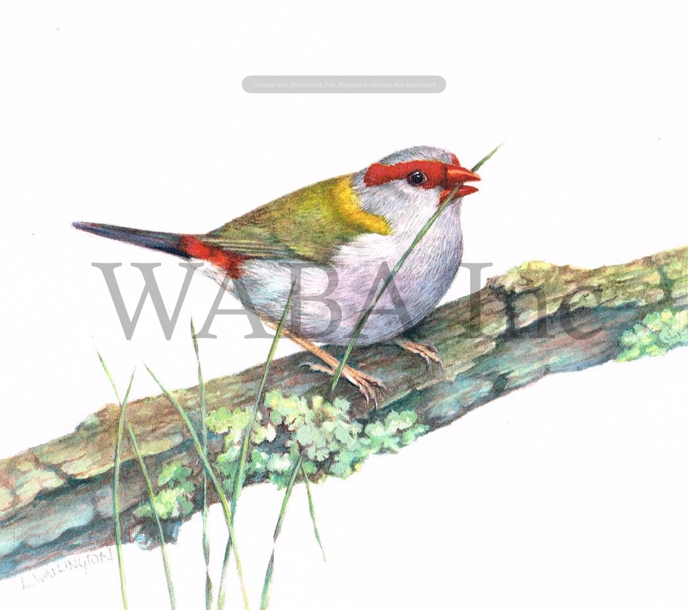 Red browed firetail