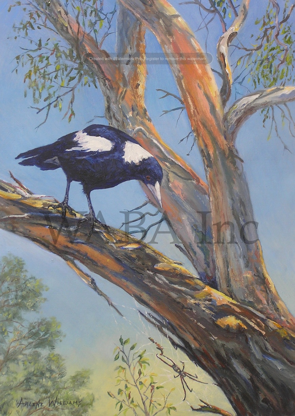 Williams-Magpie_Spies_a_Spider_AGW.jpg