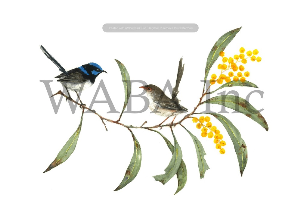 Superb Fairy-wrens in Golden Wattle