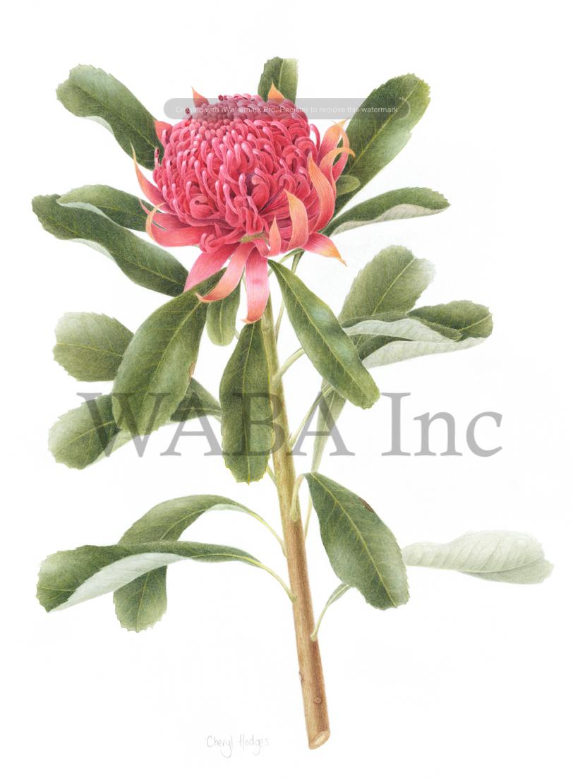 Telopea speciosissima (Waratah)