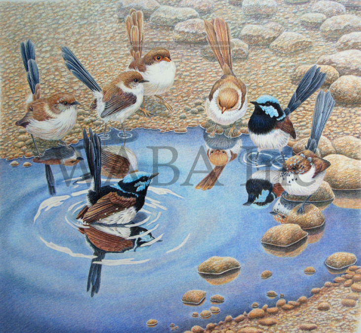 Blue Wrens- Come in, the water's fine. By Janet Matthews.