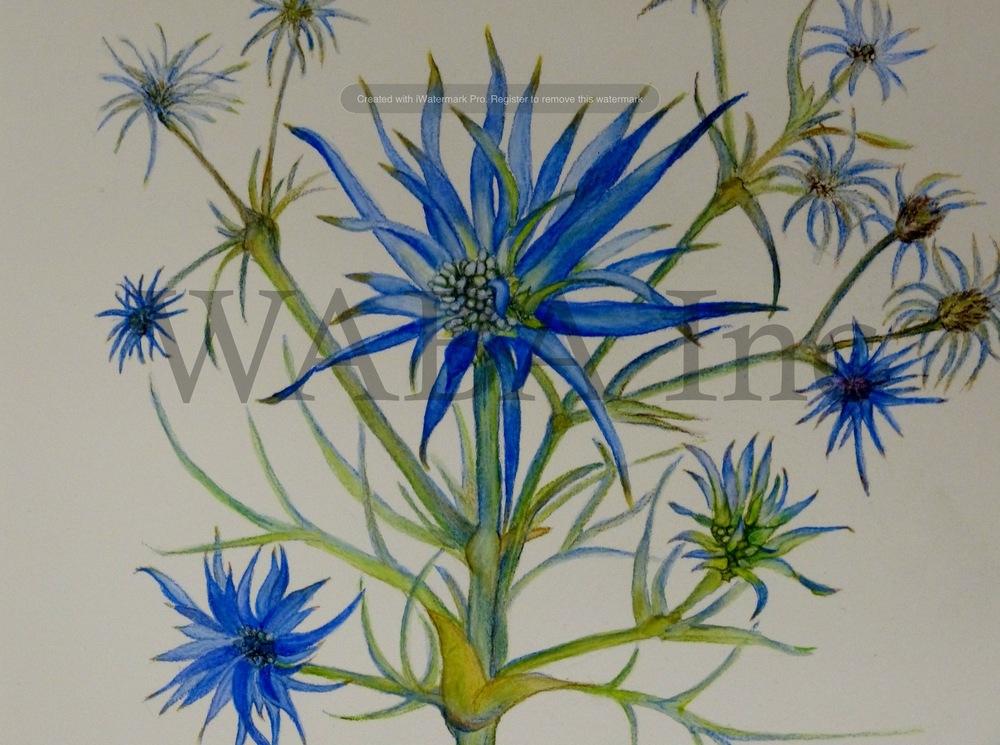 Eryngium rostratum (Blue Devil)