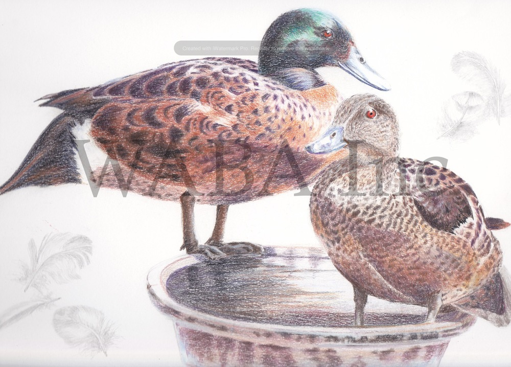 Chestnut Teals by Leigh Murray. Pencil.