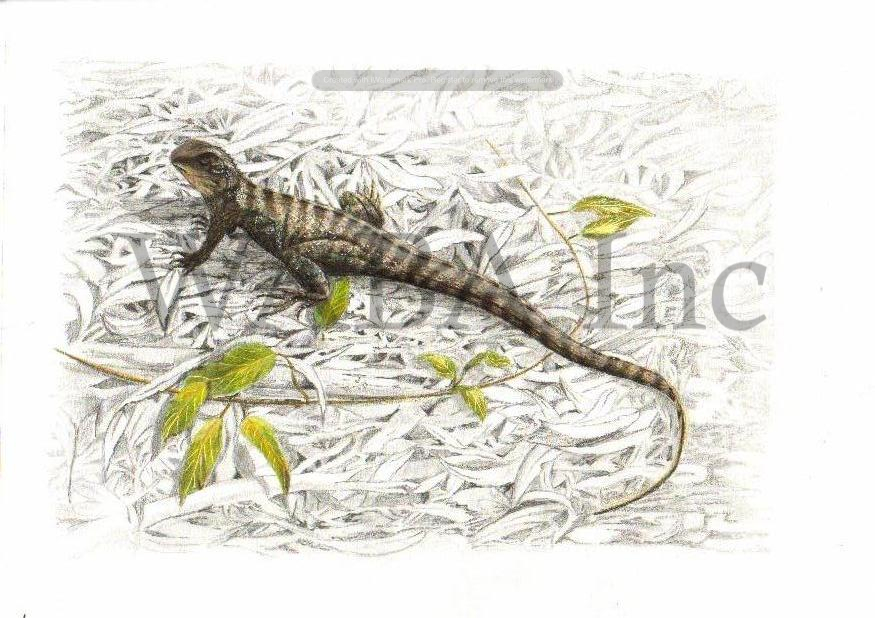 Waterdragon by Leigh Murray. Pencil.