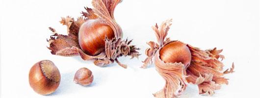Corylus avellana - Hazelnutsby Dianne Emery (original image has been cropped)