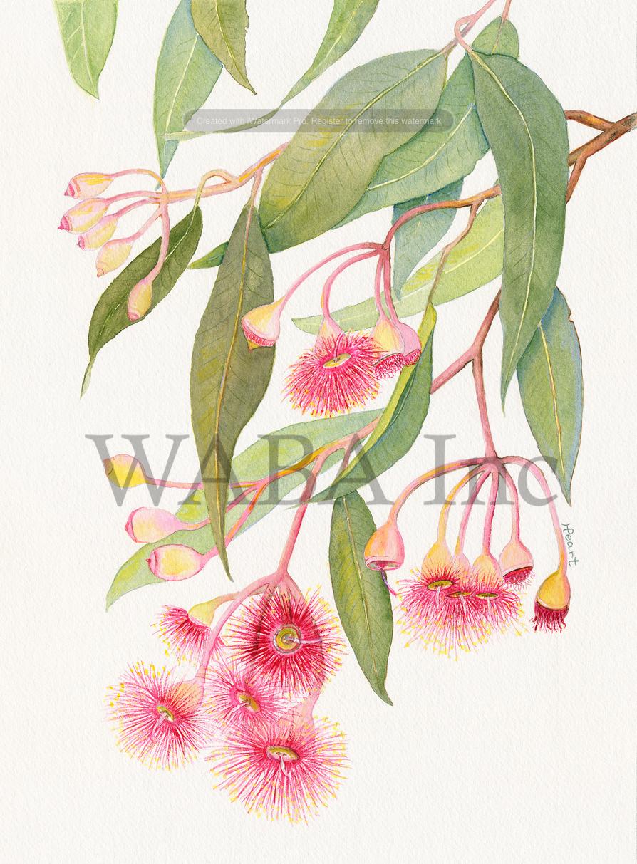 Corymbia ficifolia by Helen Peart.