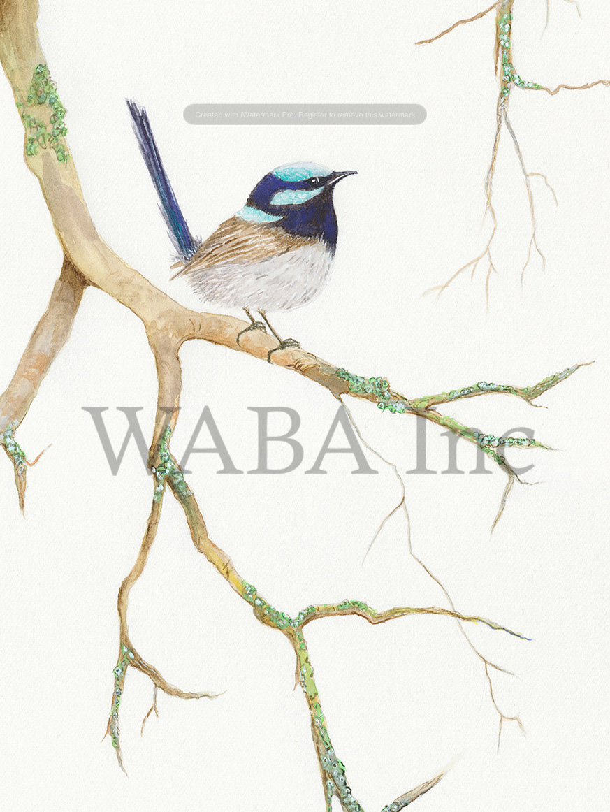 Blue Wren by Helen Peart.