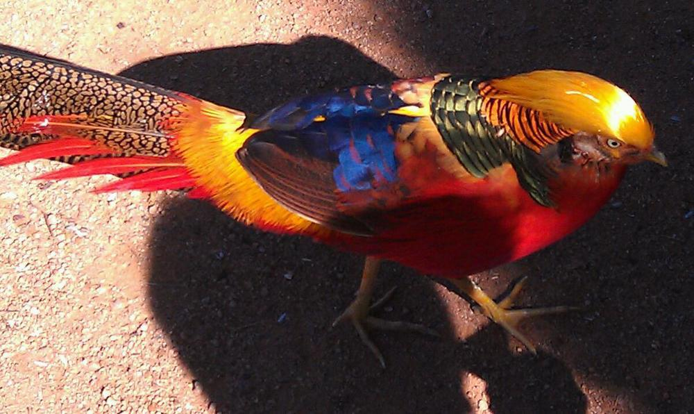 Golden Pheasant at the Walk-In-Aviary
