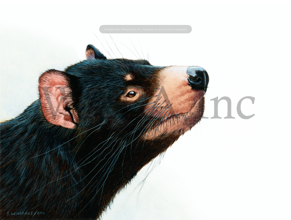 Sensing Hope (Tasmanian Devil), Robin Wingrave, watercolour/gouache, 280 x 220 mm (SOLD)