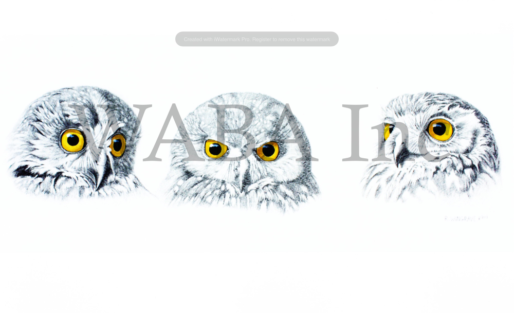 Expressions of Interest (Southern Boobook Owls), Robin Wingrave, pencil and watercolour, 500 x 250 mm