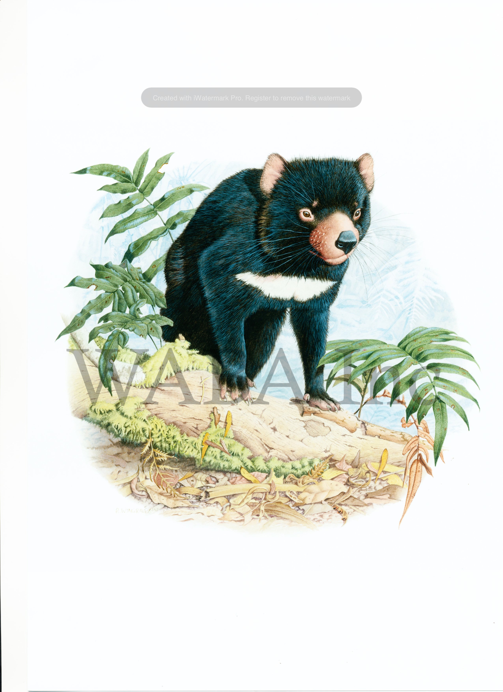 A devil in the wild (Tasmanian Devil), Robin Wingrave, watercolour/gouache, 550 x 570 mm