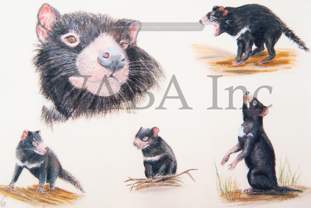Aspects of a Tasmanian Devil, Vivien Pinder, paster, 450 x 350 mm