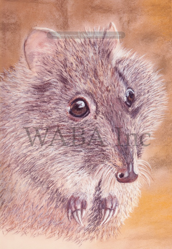 Gilbert's Potoroo, Leigh Murray, pastel, 370 x 440 mm