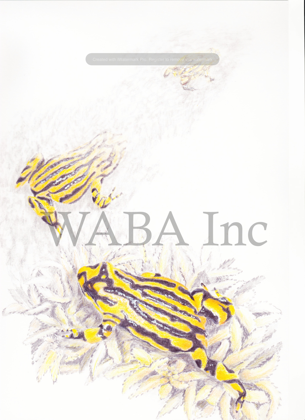 Corroboree Frog: Going Going Gone, coloured pencil, 440 x 540 mm