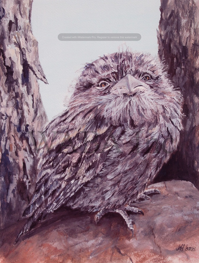 Tawni Frogmouth, Jeff Isaacs, gouache, 570 x 460 mm (SOLD)