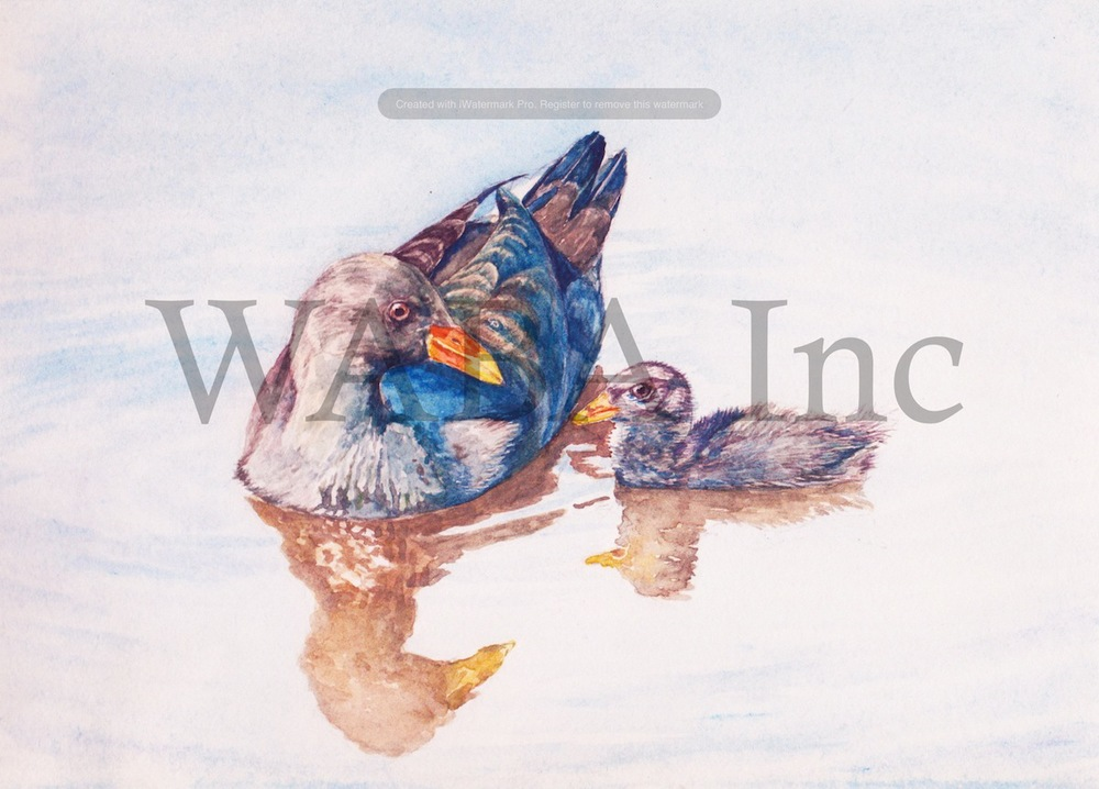 Dusky Moorhen, Ji Qui, pencil, 350 x 450 mm
