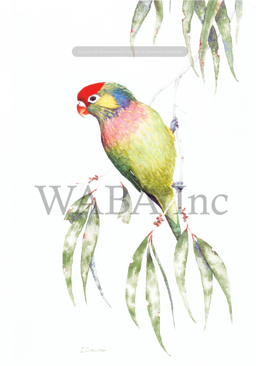 Varied Lorikeet in Long-leaved Paperbark, Steve Davidson, watercolour, 240 x 380 mm