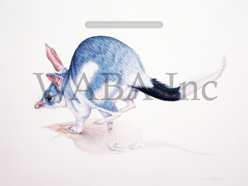 On the Run - Bilby, Janet Matthews, coloured pencil, 280 x 400 mm