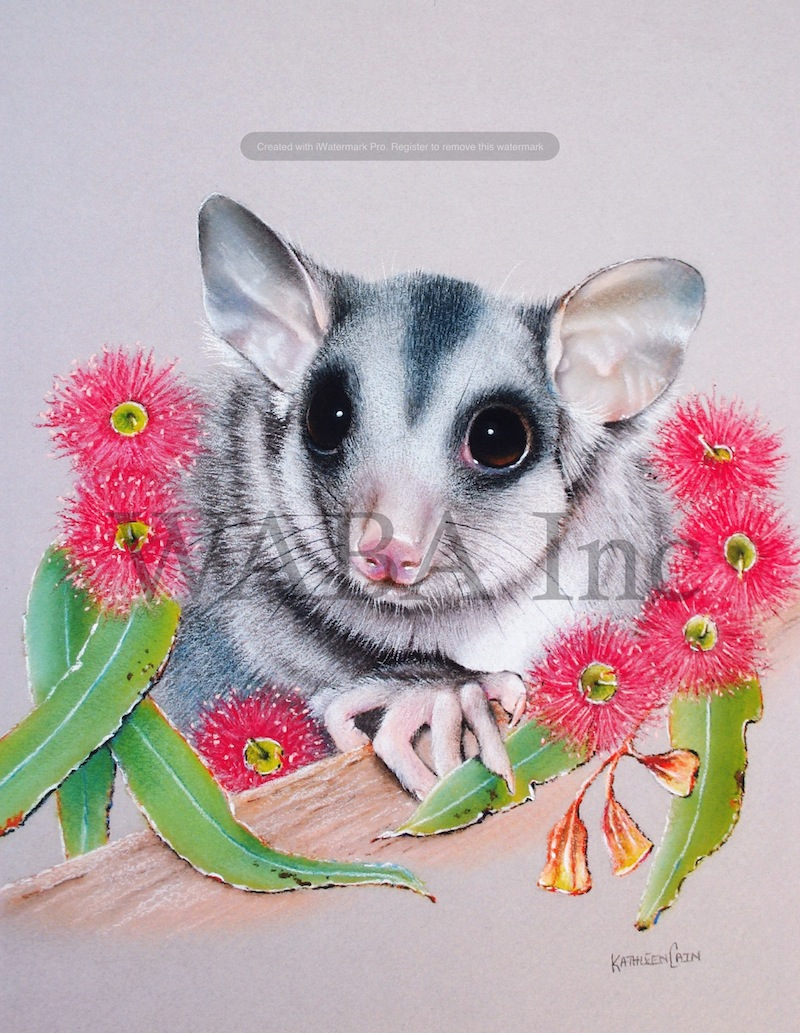 Young Squirrel Glider, Kathleen Cain, pastel, 510 x 465 mm