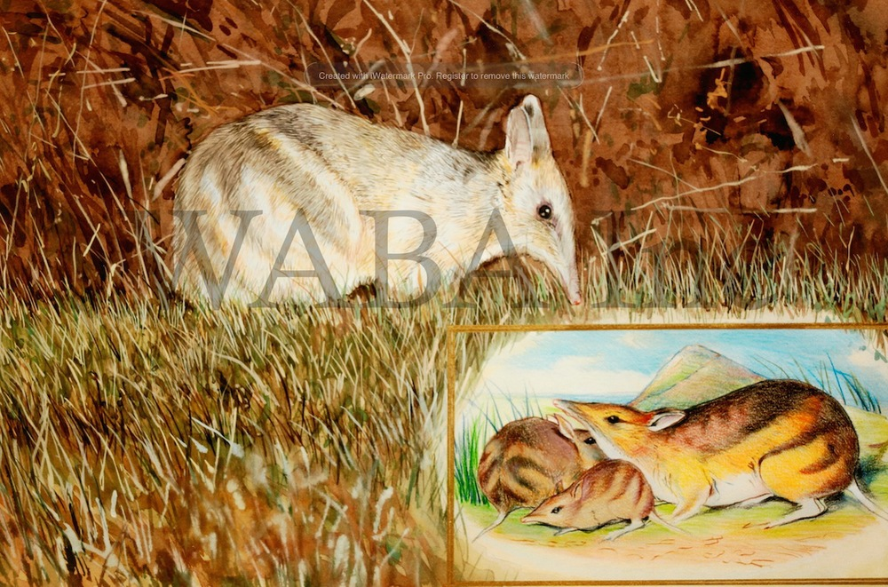 A Different Scientific Interest Since Gould's Time - Bandicoots, Paul James, watercolour, 500 x 300 mm